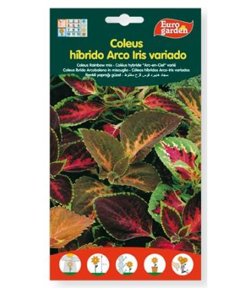 Coleus híbrido Arco iris variado 400 mg Eurogarden.