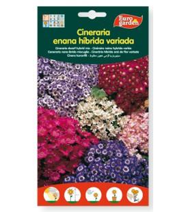 Cineraria enana híbrida variada, 50 mg de eurogarden.