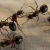 Las hormigas: Su control