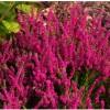 Planta Calluna en tu jardín