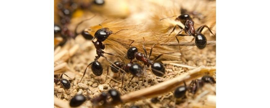 Control eficaz de las hormigas