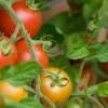 Protege los tomates de las plagas y enfermedades más comunes